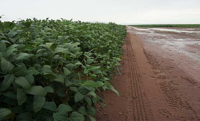 A soy plantation that has replaced Cerrado savanna native vegetation