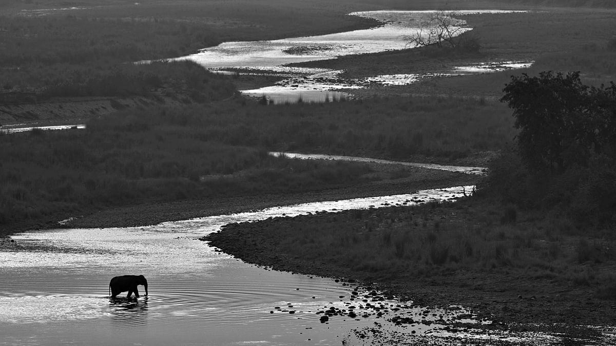 A solitary bull elephant