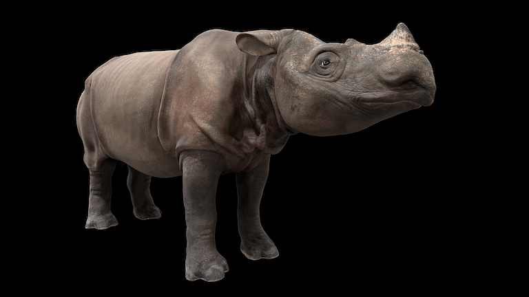 An image of the first 3D digital copy of the Sumatran rhino