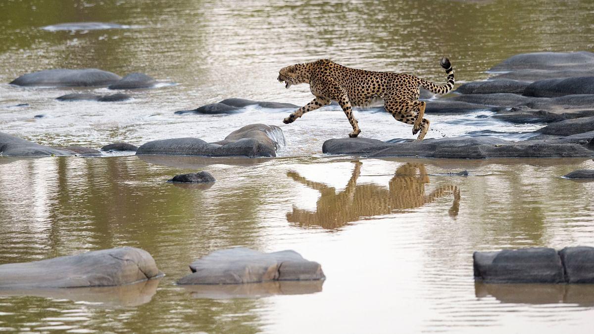 A cheetah crossing a river