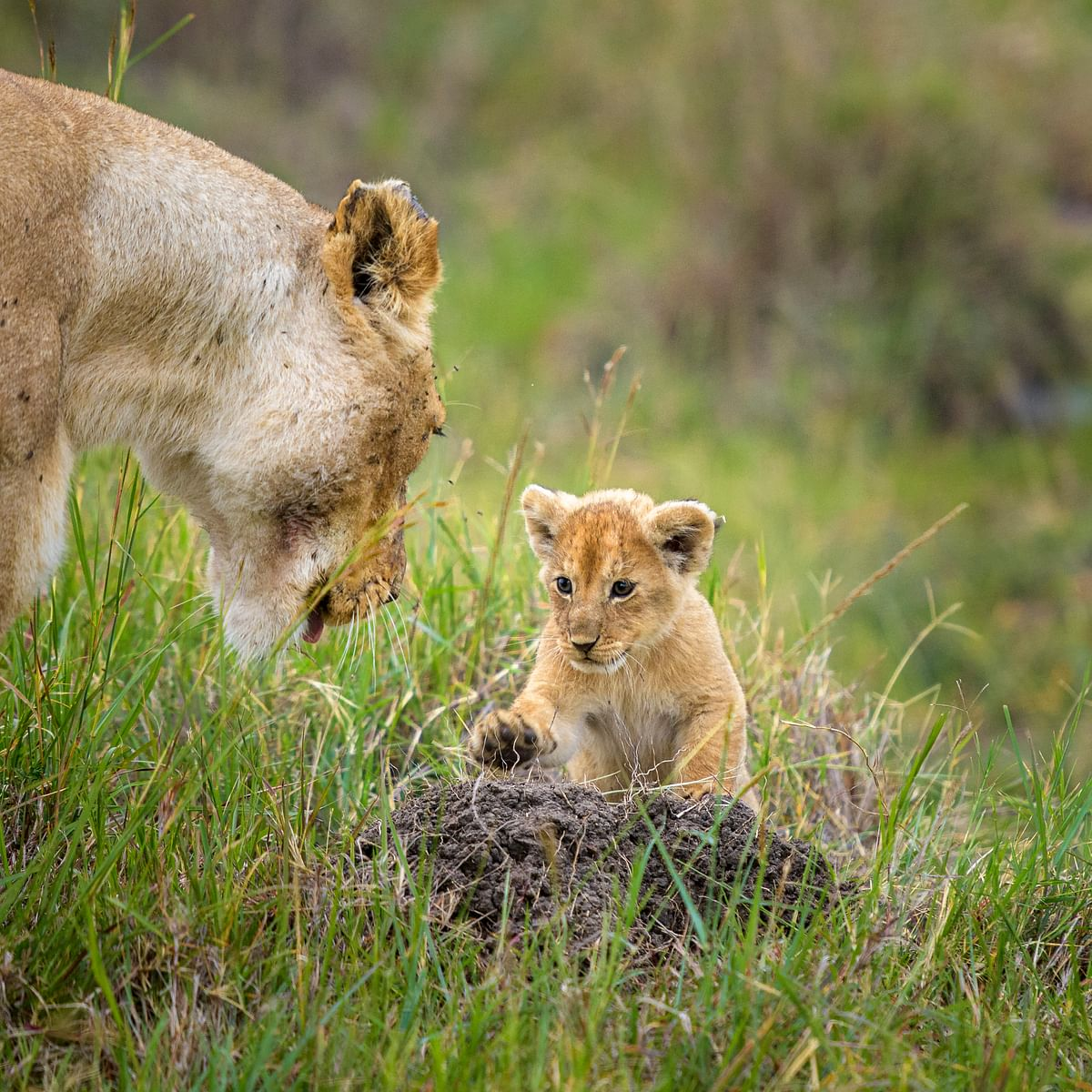 A lioness and her cub