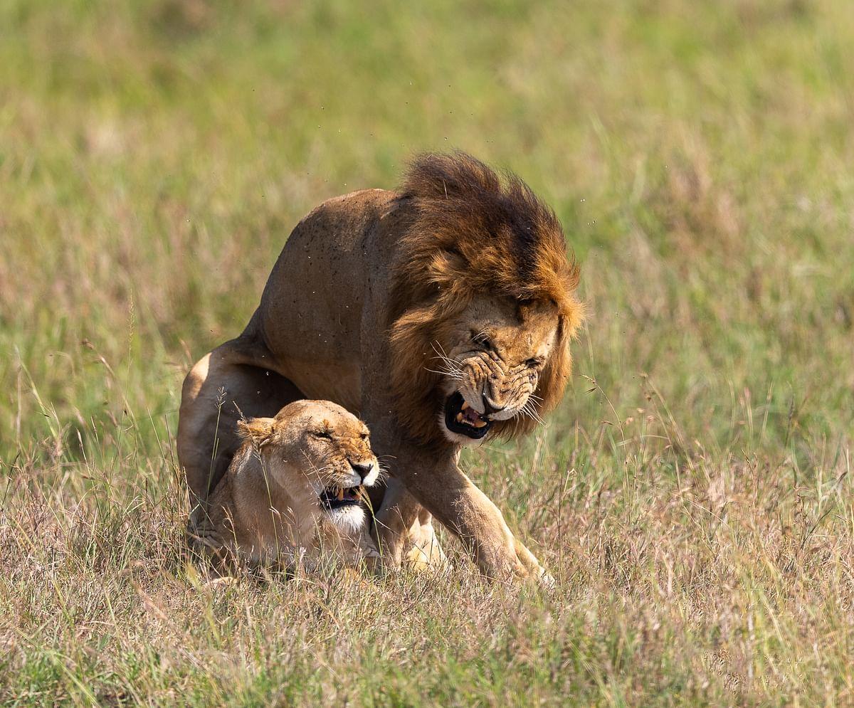 A  lion-lioness couple
