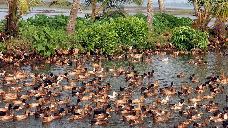 Alappuzha and Kottayam on high alert due to bird flu