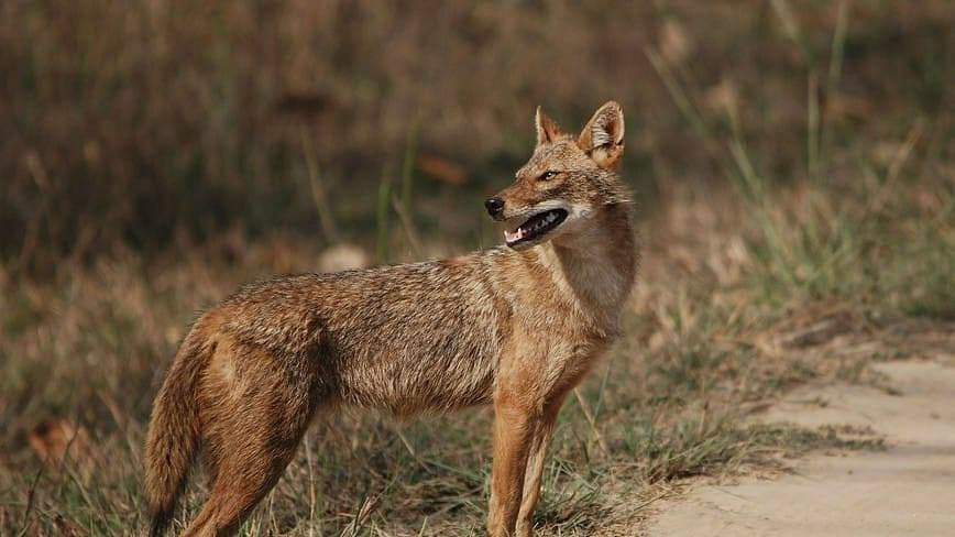 Have you seen a jackal in Kerala? If yes, you can take this survey
