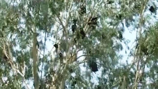 केरल के बाद हिमाचल प्रदेश पर मंडराया निपाह वायरस का खतरा, नाहन में पेड़ पर मिले मरे हुए चमगादड़