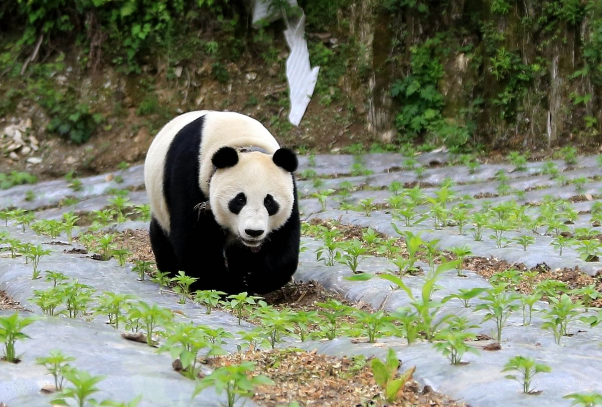 खेतों में टहलता पांडा और सड़कों पर बहता दूध