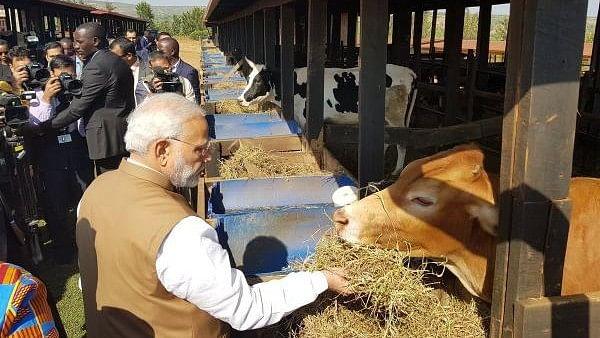 विष्णु नागर का व्यंग्य: रवांडा में 200 गायें दान कर मोदी जी ने भारत के कई मुसलमानों को बचा लिया!