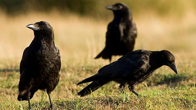 अपने साथी के 'मर्डर' की जांच करते हैं कौवे