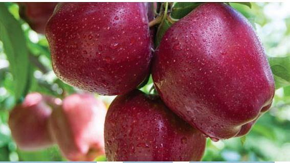 हिमाचल के सेब बागवानों को डुबो रहा है पीएम मोदी का विदेश प्रेम