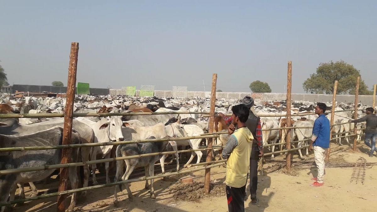 करोड़ों के खर्च से चलने वाली यूपी की गौशालाओं में तड़प-तड़प कर मर रही हैं गायें, आखिर क्यों चुप है योगी सरकार !