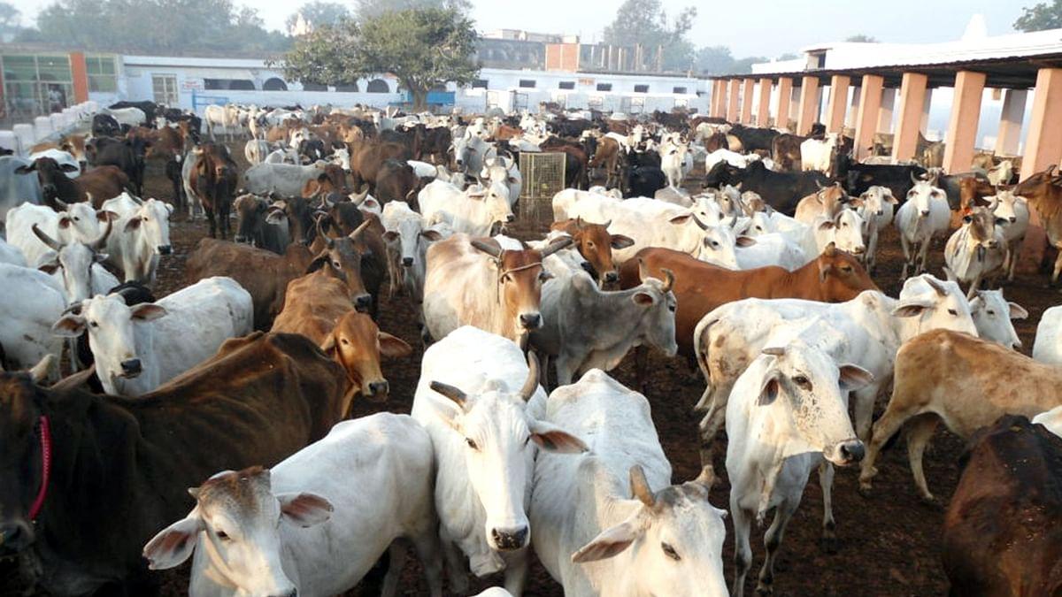 झारखंड : राजभवन, मुख्यमंत्री आवास की गायों को पड़े चारे के लाले, नहीं की गई कोई धनराशि आवंटित