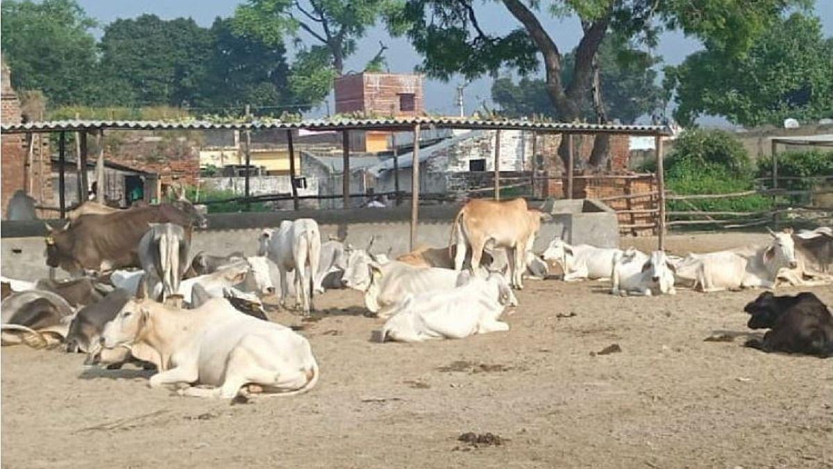 गौमाता के नाम पर सियासत चमकाने वाली योगी सरकार में गायों की हालत बदतर, 2 घंटे में 2 दर्जन गोवंशों ने तोड़ा दम