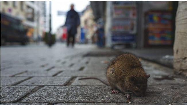 कोरोना के कहर के बीच अब हंता वायरस का खौफ, चीन में एक की मौत से हड़कंप