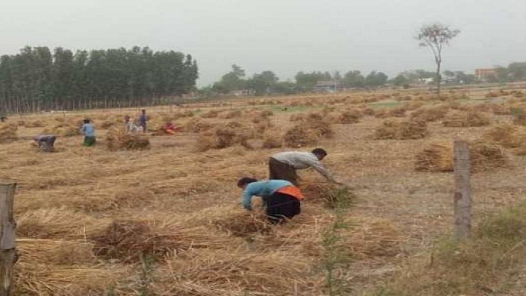 लॉकडाउन में रुकी फसलों की कटाई, बर्बादी की कगार पर करोड़ो टन गेहूं, पीएम बीमा योजना में भरपाई का नियम नहीं