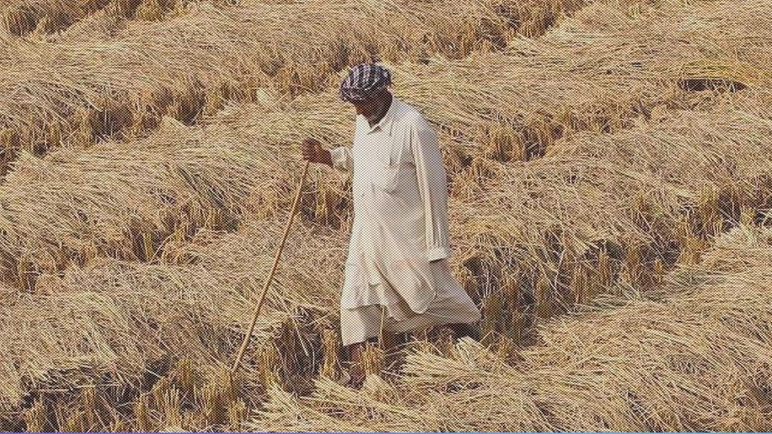 कोरोना कर्फ्यू: पंजाब में तैयार फसल के नहीं कटने से आफत में  किसान, फिर भी देश की मदद के लिए सूबे ने बढ़ाया हाथ