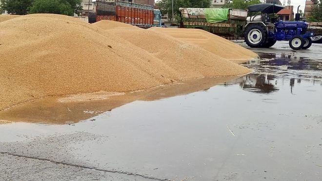 हरियाणा की मंडियों में बारिश में भीगा लाखों बोरी गेहूं, अब नमी की शर्त लगा खरीदारी से इनकार कर रही खट्टर सरकार