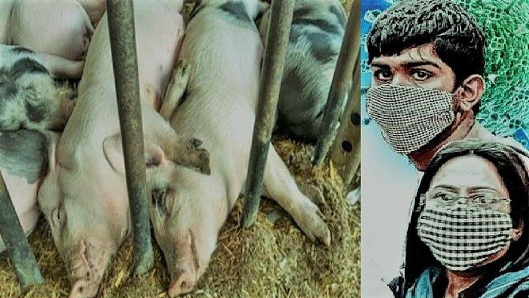 भारत में पहली बार खतरनाक अफ्रीकी फ्लू ने की दस्तक, 2500 सूअरों की मौत, कोरोना के बीच नए संकट से हड़कंप