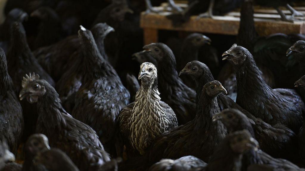 धोनी की कड़कनाथ मुर्गियों पर बर्ड फ्लू का संकट! जिस पॉल्ट्री फार्म में दिया था चूजों का ऑर्डर वहां मिला वायरस