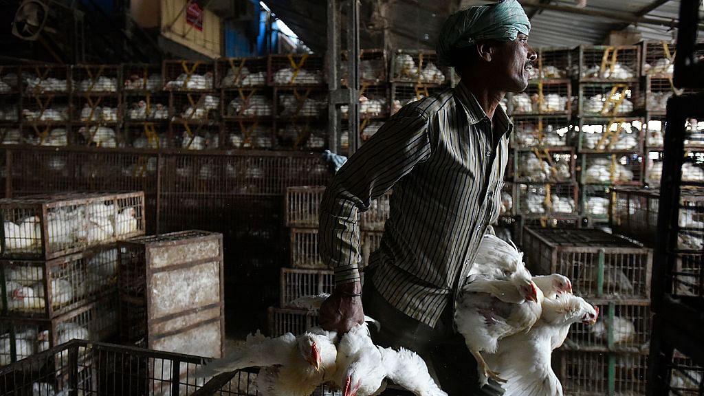 बर्ड फ्लू के बीच राहत भरी खबर! दिल्ली में एशिया की सबसे बड़ी गाजीपुर मुर्गा मंडी के सभी 100 सैंपल निगेटिव
