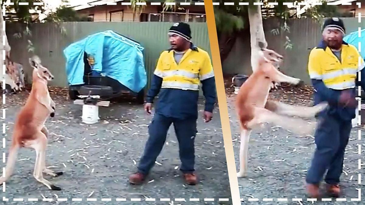 वीडियो: कंगारू को परेशान कर रहा था शख्स, मौका देख जानवर ने लिया बदला.. कर दी धुनाई!