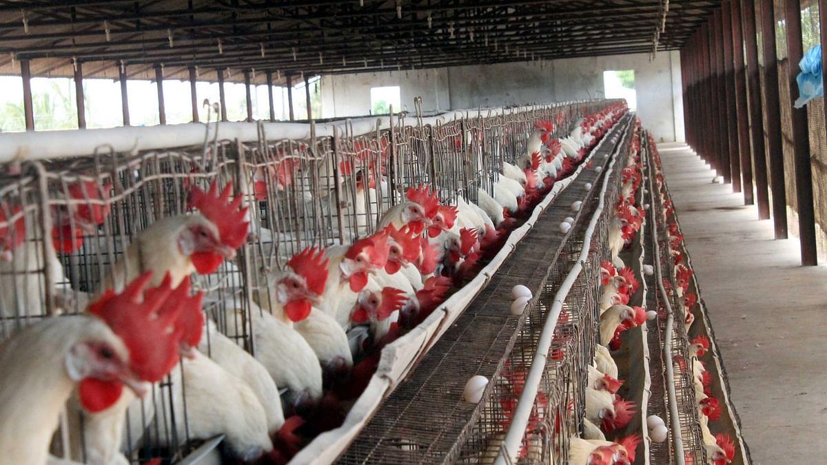 बर्ड फ्लू से देश भर में दहशत! WHO ने कहा- ठीक से पका चिकेन, अंडे खाने से कोई खतरा नहीं