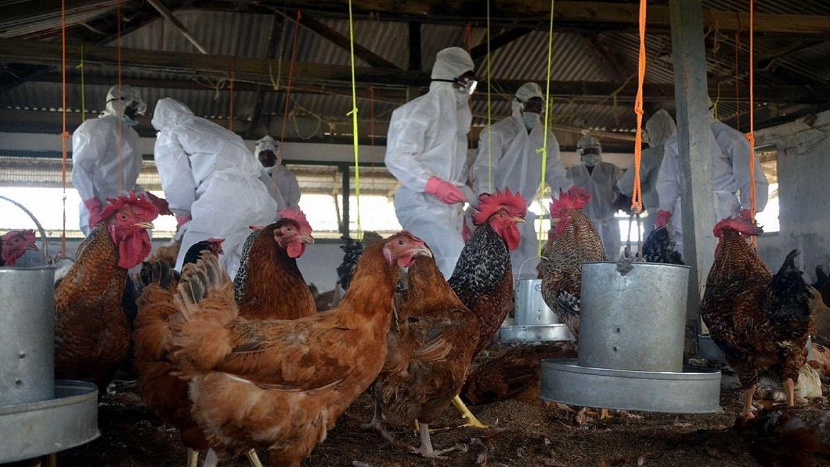 बर्ड फ्लू: देश के इन 10 राज्यों में बढ़ा खतरा! हजारों मुर्गियों की मौत से दहशत, कुछ जगहों पर चूजों की एंट्री पर बैन