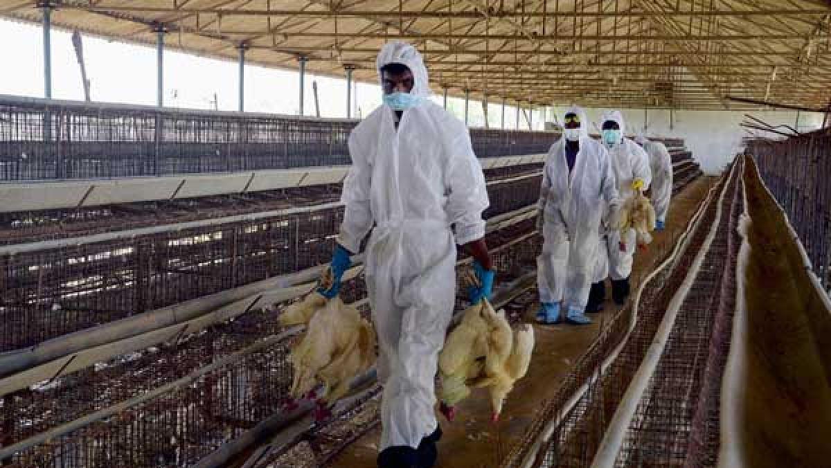 हरियाणा पर बर्ड फ्लू का खतरा, पंचकूला में 4 लाख मुर्गियों की मौत से हड़कंप, सरकार ने जारी की एडवाइजरी