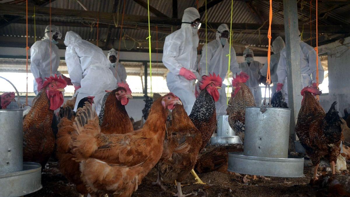 बर्ड फ्लू से दिल्ली की गाजीपुर मंडी के व्यापारी चिंतित, बीमारी फैली तो मुर्गा व्यापार पर पड़ेगा असर