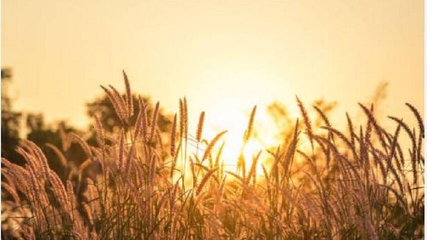 जलवायु परिवर्तन के असर से कम होगी धान की पैदावार, परंपरागत खेती के समूल नष्ट होने का भी खतरा