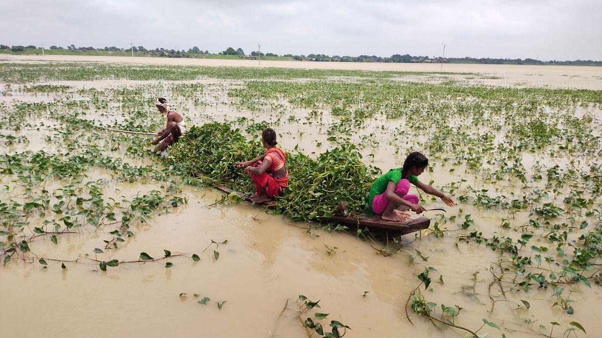 बिहार में बाढ़ ने बढ़ाई पशुपालकों की परेशानी, 'जुगाड़ की नाव' से चारा काटने ऐसे खेतों में पहुंच रहे किसान