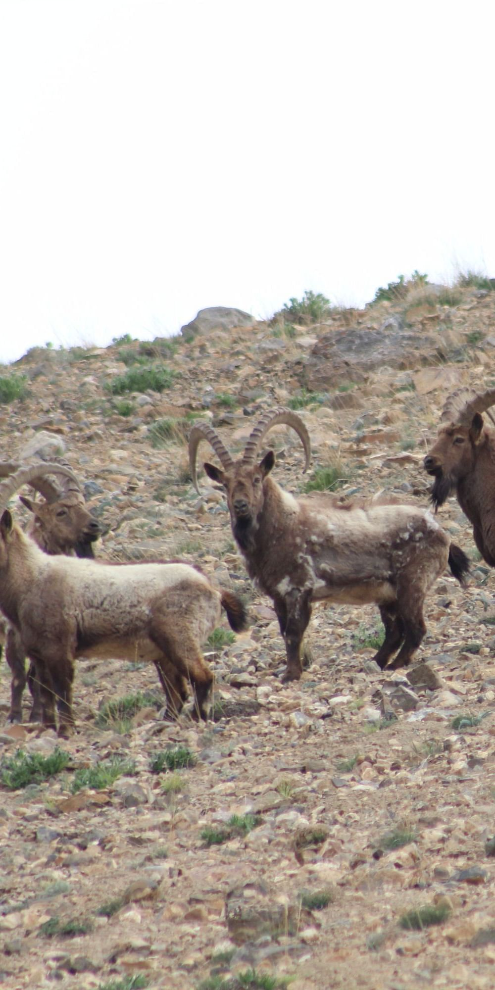 A group of male Ibex