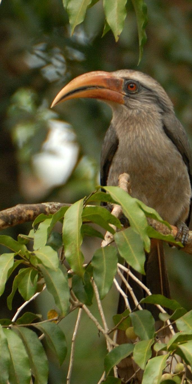 Male Malabar Grey Hornbill