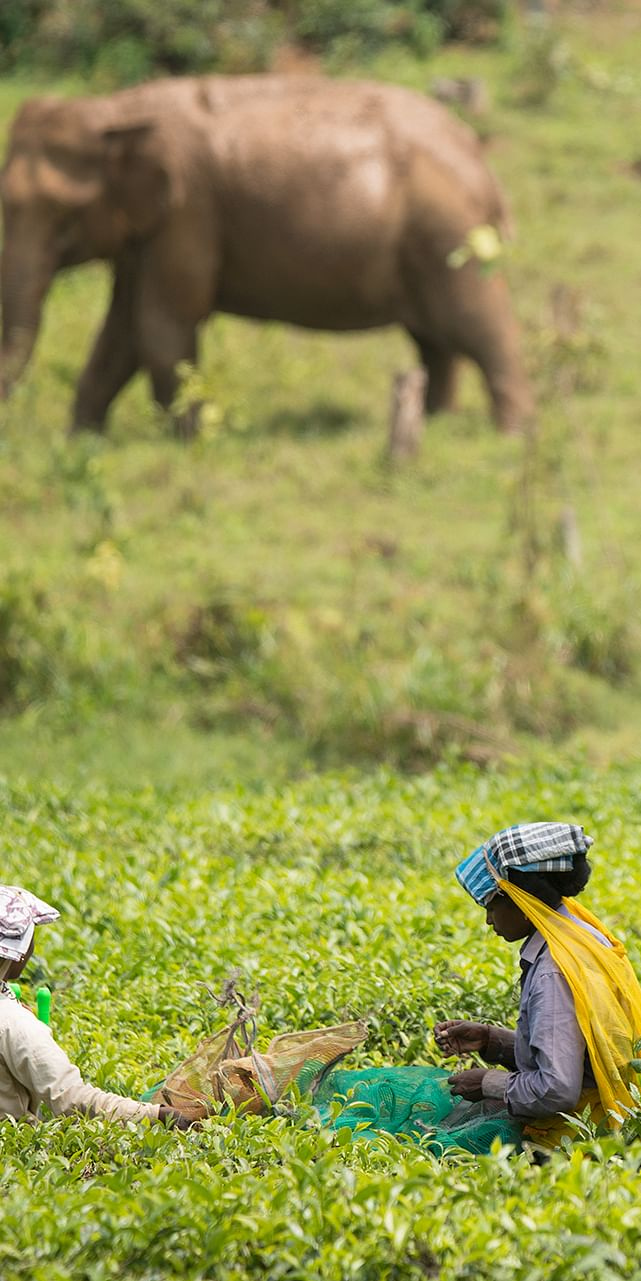 Plantation workers sharing space with elephants and Gaur