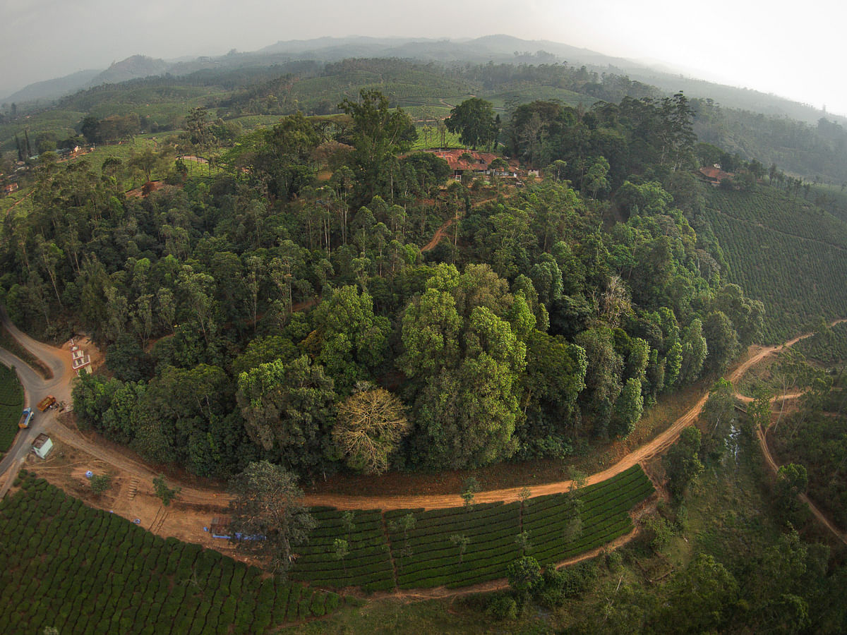 Restored rainforest fragment surrounded by tea plantations