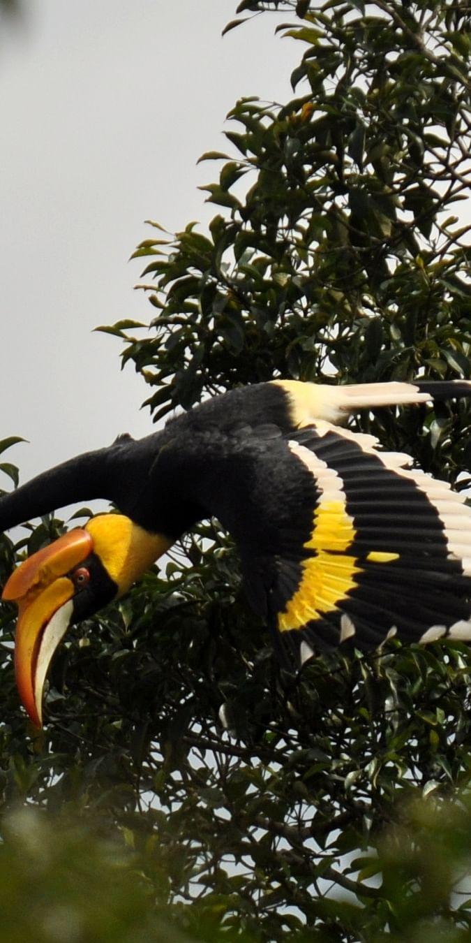 Great Hornbill female in flight