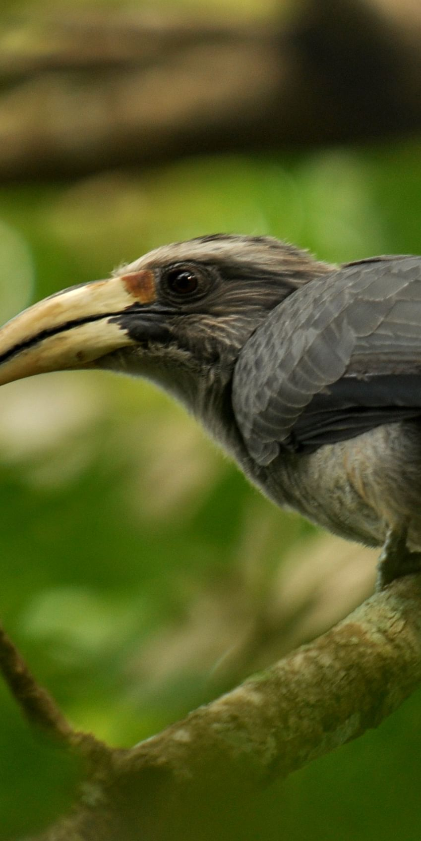 A Malabar Grey Hornbill in a rainforest fragment in the Anamalai Hills, Western Ghats