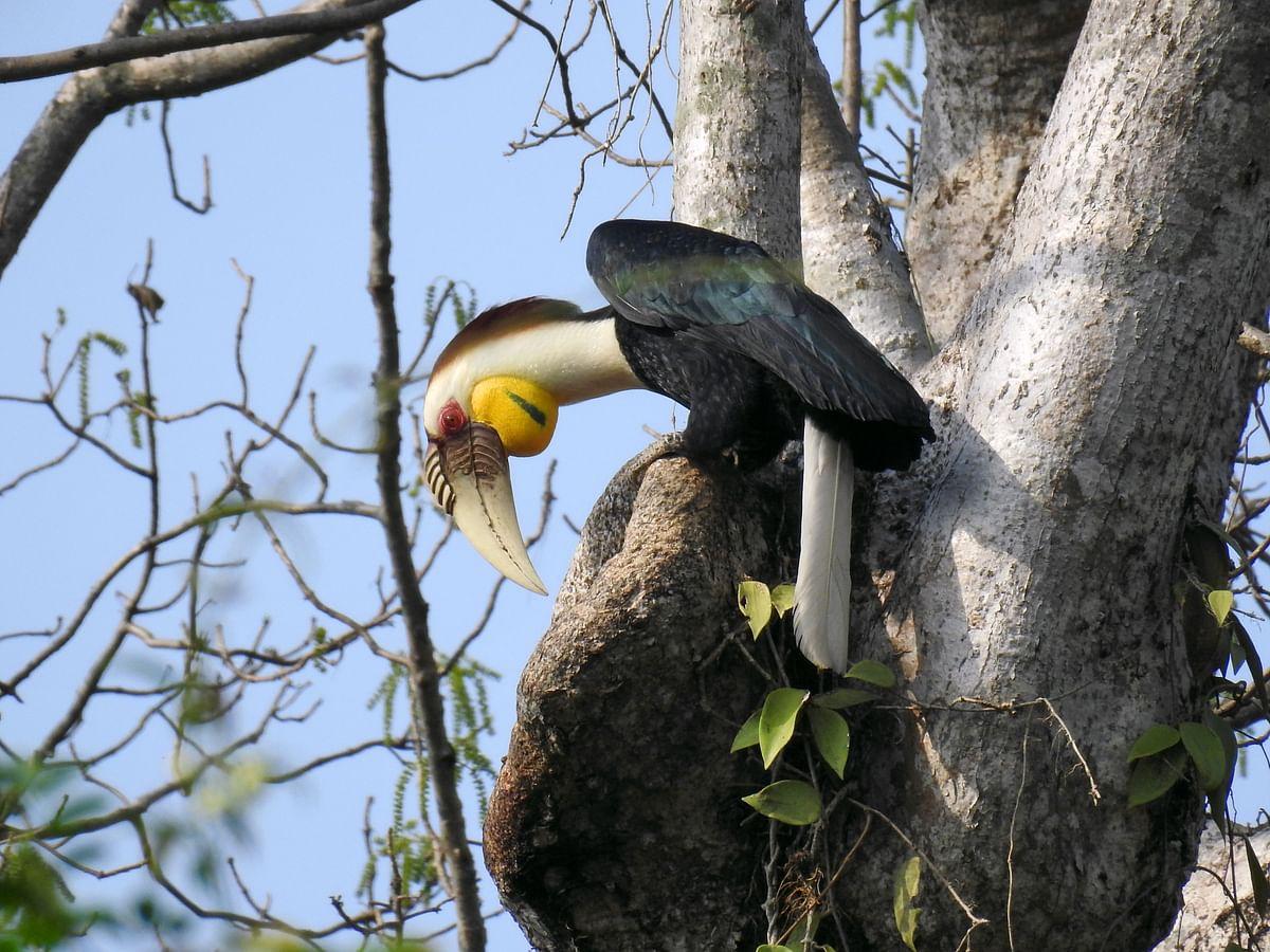 How far do Asian forest hornbills disperse seeds?