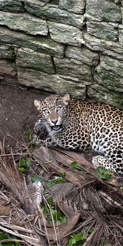 Big cat in well: an unconventional threat to leopards in southern India