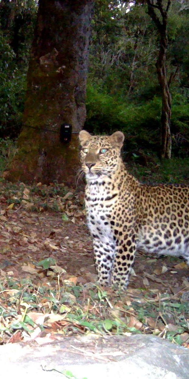 Monitoring of leopards at Biligiri Rangaswamy Temple Tiger Reserve in Karnataka