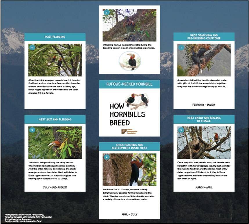 How Hornbills Breed: Rufous-necked Hornbill