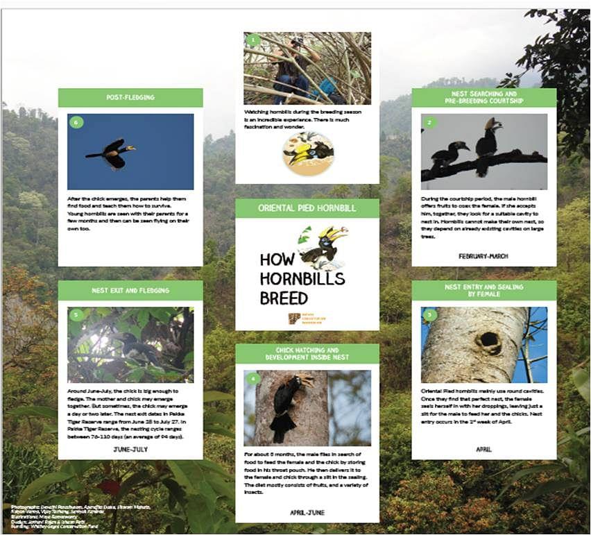 How Hornbills Breed: Oriental Pied Hornbill