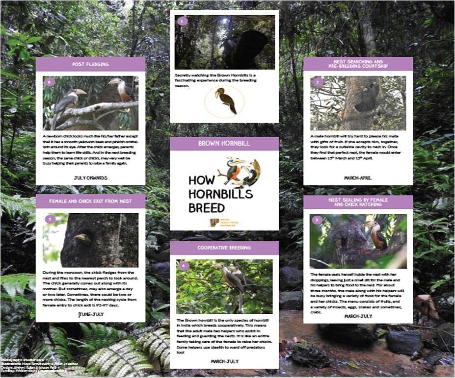 How Hornbills Breed: Brown Hornbill