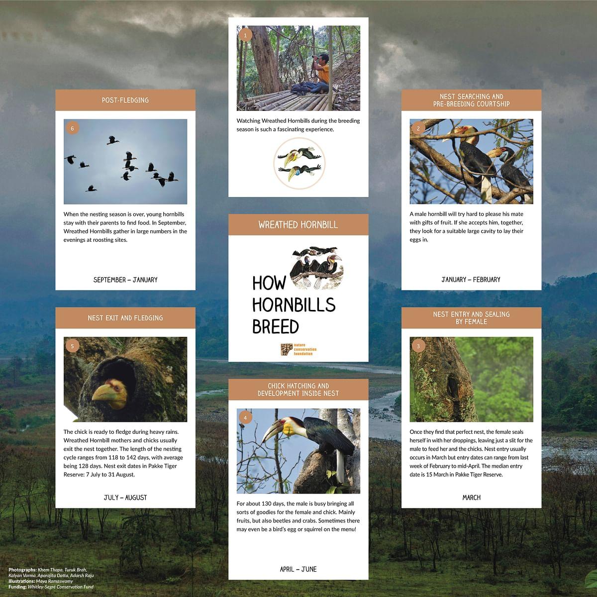 How Hornbills Breed: Wreathed Hornbills