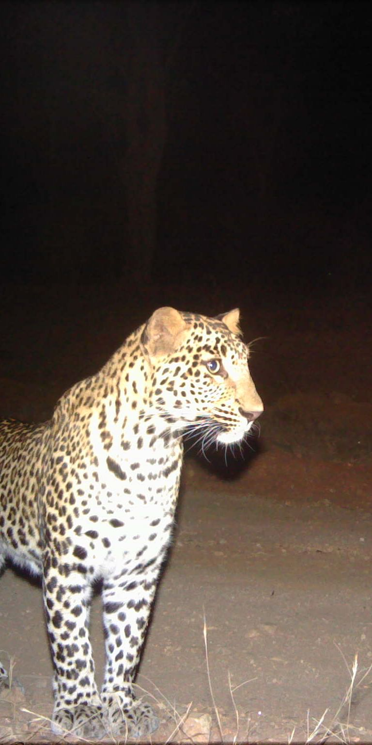 Policy to On-ground Action: Evaluating a Conflict Policy Guideline for Leopards in India