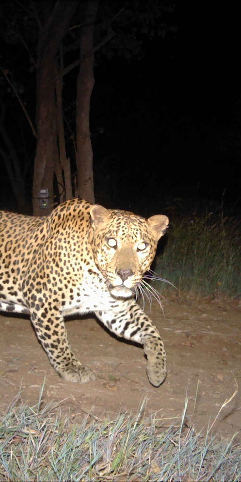 Elusive species such as the leopard (Panthera pardus) have a wide geographical distribution.