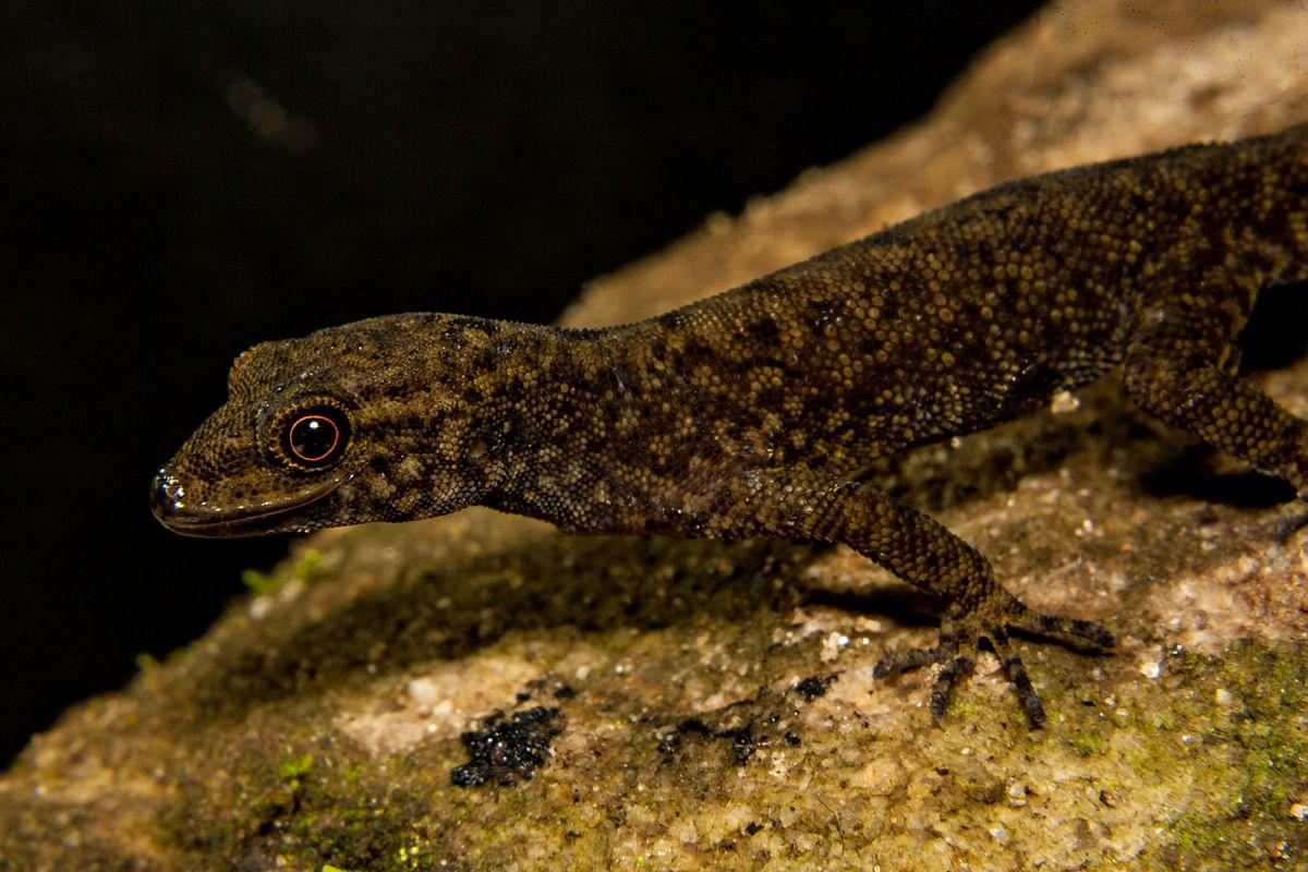 Geckos and Skinks