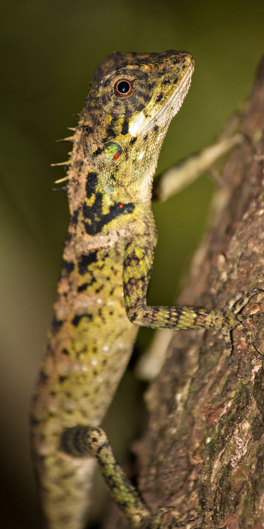 Herpetofaunal survey in rainforest remnants of the Western Ghats, India
