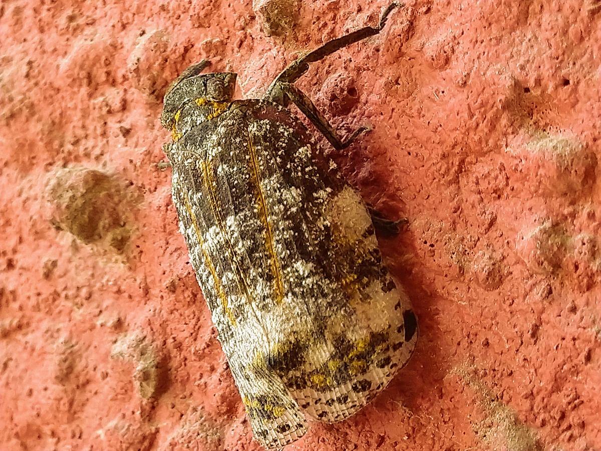 A Fulgorid nymph on a wall