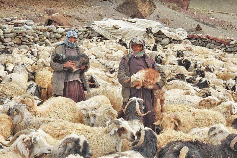 Ladakh Pashmina