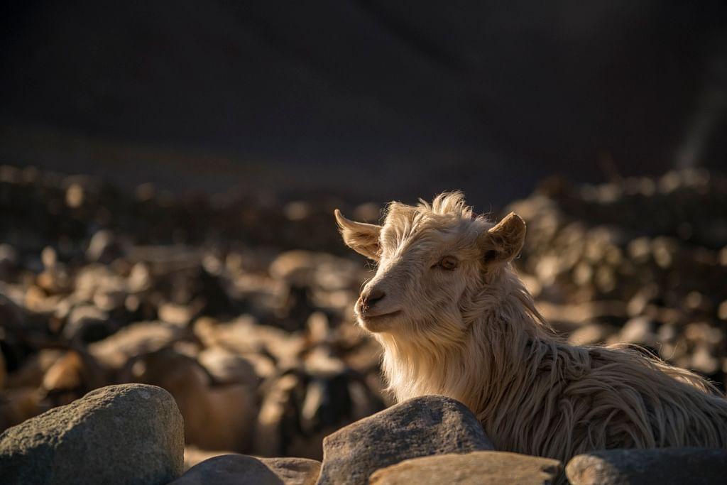 Relative influence of wild prey and livestock abundance on carnivore-caused livestock predation.